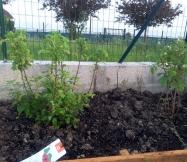 Nous avons aussi planté un framboisier et un groseillier.