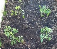 Nos plants de tomates cerises sont plantés.