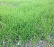 Une herbe bien verte !