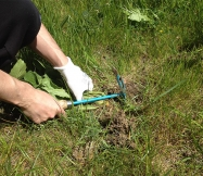 arrachage d'une mauvaise herbe en cours