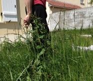 voici une petite idée de la hauteur des mauvaises herbes