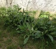 Voici les mauvaises herbes que nous allons enlever de notre jardin.